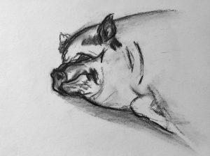 Kohlezeichnung von einem Hängebauchschwein